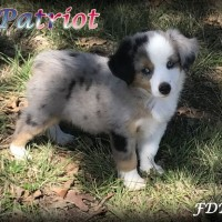 Toy Aussie Puppies Dallas Tx